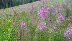 roxo em verde (abelhário) Tags: floresta forest wald bos alemanha duitsland germany deutschland summer zomer sommer verão buzzing zumbindo zoemend summend