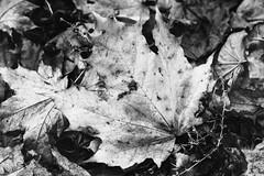 Maple-leaf 📷 (andreysmirnov3) Tags: monochrome 35mm photography bw blackandwhite filmphotography analogue classicblackwhite filmforever