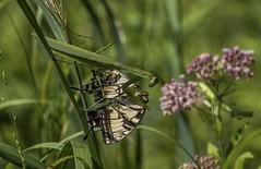 Mantid eats Tiger Swallowtail (Odonata457) Tags: mantis tiger swallowtail eating patuxentresearchrefuge annearundelcounty maryland