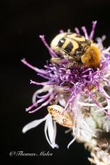 Bee Beetle (Thomas Males) Tags: macro nature summer trichiusfasciatus beautiful bee beebeetle beetle bloom blooming blossom bug close closeup color colorful fasciatus fauna feeding flora flower hairy insect invertebrate leaf mimicry scarab scarabaeidae season shields trichius wild