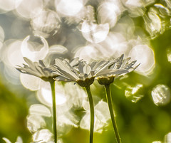 Wild and Free. (Omygodtom) Tags: abstract art sparkle dof bokeh soft flickriver sunshine nikon70300mmvrlens digital d7100 scene senery setting flora flower flickr