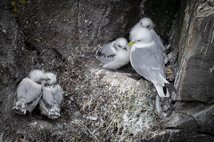 Black-legged Kittiwake | Rissa tridactyla | Mouette tridactyle (Paul B Jones) Tags: newfoundland blackleggedkittiwake rissatridactyla mouettetridactyle capestmarysecologicalreserve canada bird chicks nestlings wildlife nature canon eos1dxmarkii ef600mmf4lisiii nests cliff