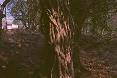 Parasite (PaulEBennett) Tags: tree bolton rivington pentaxk1000 film