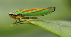 Rhododendron Leafhopper - Graphocephala fennahi 290719 (3) (Richard Collier - Wildlife and Travel Photography) Tags: insects closeup macro britishinsect british rhododendronleafhopper graphocephalafennahi