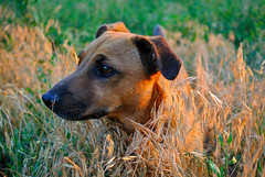 Dog. (denkuznets81) Tags: dog pet pets animal grass sunset nature golden собака пес природа животные закат