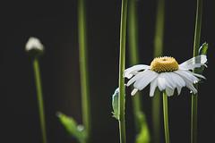 Late Bloomer ... (vanessa violet) Tags: daisy flower nature summer latebloomer fly