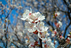 Spring. (denkuznets81) Tags: spring tree bloom blossom nature macro flower floral beautiful blue весна цветы природа макро