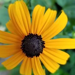 Black-eyed Susan (Rudbeckia hirta) (army.arch) Tags: flower yellow blackeyedsusan rudbeckiahirta