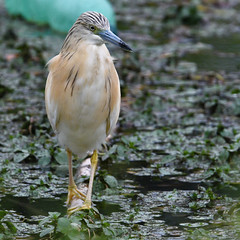 crabier chevelu / Ardeola ralloides 19D_3122 (Bernard Fabbro) Tags: squacco heron crabier chevelu ardeola ralloides