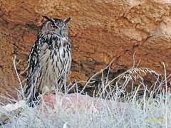 Búho real (Bubo bubo)  (20) (eb3alfmiguel) Tags: aves nocturnas strigiformes strigidae familia búho real bubo