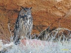Búho real (Bubo bubo)  (18) (eb3alfmiguel) Tags: aves nocturnas strigiformes strigidae familia búho real bubo