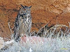 Búho real (Bubo bubo)  (11) (eb3alfmiguel) Tags: aves nocturnas strigiformes strigidae familia búho real bubo