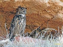 Búho real (Bubo bubo)  (8) (eb3alfmiguel) Tags: aves nocturnas strigiformes strigidae familia búho real bubo