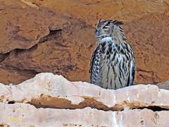 Búho real (Bubo bubo)  (7) (eb3alfmiguel) Tags: aves nocturnas strigiformes strigidae familia búho real bubo