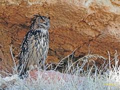 Búho real (Bubo bubo)  (5) (eb3alfmiguel) Tags: aves nocturnas strigiformes strigidae familia búho real bubo