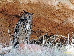 Búho real (Bubo bubo)  (3) (eb3alfmiguel) Tags: aves nocturnas strigiformes strigidae familia búho real bubo