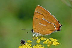 Thecla betulae - the Brown Hairstreak (BugsAlive) Tags: butterfly butterflies mariposa papillon farfalla 蝴蝶 dagvlinder 自然 schmetterling бабочка conbướm animal outdoor insects insect lepidoptera macro nature lycaenidae theclabetulae brownhairstreak theclinae wildlife tidworth wiltshire liveinsects uk bugsalive