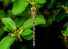 DSC0684  Southern Hawker... (Jeff Lack Wildlife&Nature) Tags: southernhawker hawker hawkers odonata dragonflies dragonfly insects insect wildlife wetlands woodlands woodland wildlifephotography jefflackphotography marshland marshes meadows macro countryside copse hedgerows heathlands heathland heaths hedges grasslands glades naturephotography nature knnr
