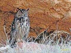 Búho real (Bubo bubo)  (19) (eb3alfmiguel) Tags: aves nocturnas strigiformes strigidae familia búho real bubo