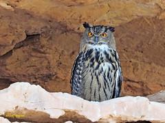 Búho real (Bubo bubo)  (17) (eb3alfmiguel) Tags: aves nocturnas strigiformes strigidae familia búho real bubo