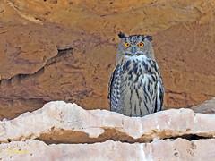 Búho real (Bubo bubo)  (16) (eb3alfmiguel) Tags: aves nocturnas strigiformes strigidae familia búho real bubo