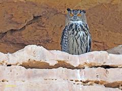 Búho real (Bubo bubo)  (15) (eb3alfmiguel) Tags: aves nocturnas strigiformes strigidae familia búho real bubo