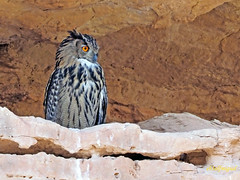 Búho real (Bubo bubo)  (13) (eb3alfmiguel) Tags: aves nocturnas strigiformes strigidae familia búho real bubo