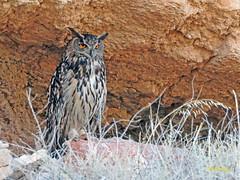 Búho real (Bubo bubo)  (12) (eb3alfmiguel) Tags: aves nocturnas strigiformes strigidae familia búho real bubo
