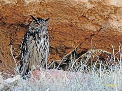 Búho real (Bubo bubo)  (10) (eb3alfmiguel) Tags: aves nocturnas strigiformes strigidae familia búho real bubo