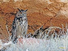 Búho real (Bubo bubo)  (9) (eb3alfmiguel) Tags: aves nocturnas strigiformes strigidae familia búho real bubo