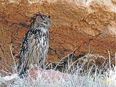 Búho real (Bubo bubo)  (4) (eb3alfmiguel) Tags: aves nocturnas strigiformes strigidae familia búho real bubo