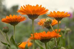October flowers (beaconschris5050) Tags: minoltamd50mmmacro fujix