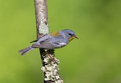 Northern Parula.Lake hope Ohio. (mandokid1) Tags: canon 1dx ef600mm11 birds warblers