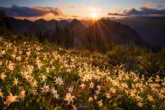 Avalanche Meadow (Hilton Chen) Tags: mountrainiernationalpark tatooshrange washingtonstate avalanchelilies backlight landscape summer sunset sunstar wildflowers