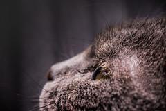 chat (Laurent Hutinet) Tags: chat felin