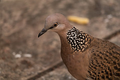 Spotted Dove (hoangphatngox) Tags: bird canont7i t7i focus zoom sharp bokeh green brown dove closeup 55250mm