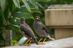 Javan Mynah looking at the viewer (hoangphatngox) Tags: bird canont7i t7i focus zoom sharp bokeh green brown blur 55250mm