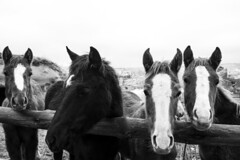 Horses (cekic photography) Tags: horses animal blackandwhite photography photographers photojournalism cappadocia turkey nevsehir travel travelling travelphotography poster artofvisuals jpg eyes exploration monochorme bnw turkish horse