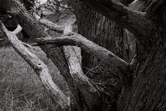 Old branches (bingley0522) Tags: leicaiiic zeissjenasonnar50mmf15ltm xp2 vintagelens pointlobos coastalcalifornia cypress branches ordinarythings commonplacethings autaut