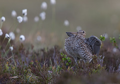 Great snipe, Norway (andrériis) Tags: norway snipe bird leking summer canon 600mm tripod 1dx