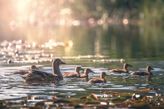 Duck family (Marc Andreu) Tags: duck pond nature water bird lake animal background wildlife wild duckling natural mallard yellow park summer outdoor river landscape beak young green spring swim feather family small mother scene marcandreu