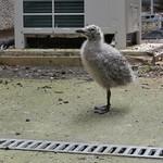 gull chick
