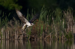 Really really heavy (Michelle w.h. Xu) Tags: fish osprey bird nature wildlife animal water birds brown white black green