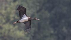 Cigogne noire Ciconia nigra - Black Stork (yquertenmont) Tags: ciconianigrablackstork cigognenoire nature ornitho