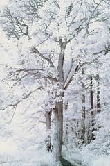 Seeking the cool under the trees! (Elisafox22) Tags: elisafox22 nikon d90 infraredconverted 720nm trees htt texturaltuesday htmt treemendoustuesday sunshine photoshop shadows infrared sky fyviecastle aberdeenshire scotland lochsidewalk outdoors inedita talkingdigitalphotography website elisaliddell©2019