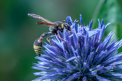 Taille de Guêpe ! (clamar18) Tags: insecte jardin guepe flower echinops bleu mérysurcher