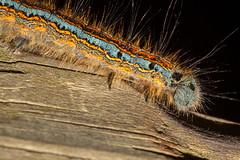 Caterpillar Of Malacosoma neustria (Markus Branse) Tags: caterpillar of malacosoma neustria raupe raupen spiner ringelspinner nachtfalter falter schmetterling dülmen germany german deutsch deutschland niemcy duits duitsland natuur nature natur tiere tier animal animals animaux dier dieren insekten insekt insects insect kleintier