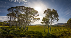 Day by day nothing changes, but when you look back everything is different. (catrall) Tags: australia australien nikon d750 fx sigma lens 24105 february 2019 art tasmania tasmanien nature landscape tree trees wood white green limb limbs forest blue sky clouds cloud sun sunlight meadow grass day change look everything different