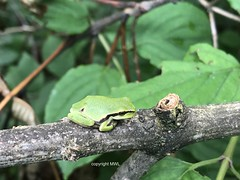 Hyla arborea - Laubfrosch (Phil Arachno) Tags: germany kressbronn laubfrosch hyla