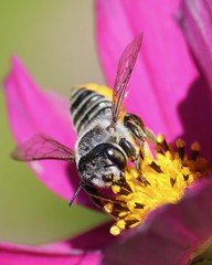 (They long to) Bee, close to you (Parowan496) Tags: leafcutterbee bee cosmos canoneos80defs55250mmf456is canon eos 80d efs55250mm f456 ƒ80 2500mm 12000 iso1000